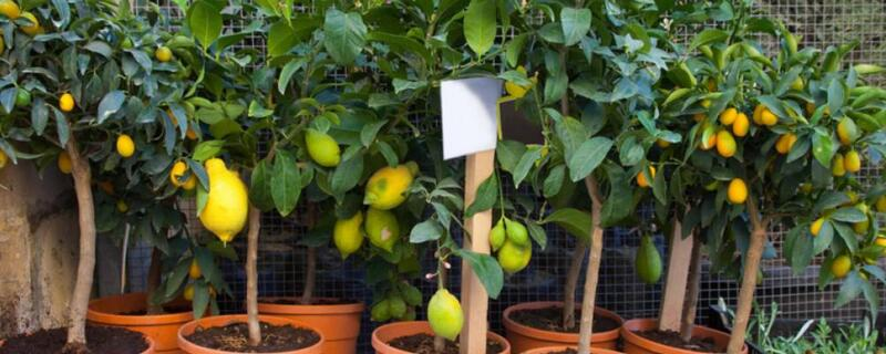 北方盆栽柠檬的养殖