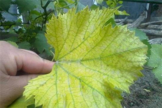 叶子发黄是什么原因