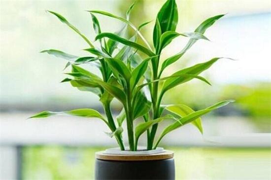 富贵竹开花吗