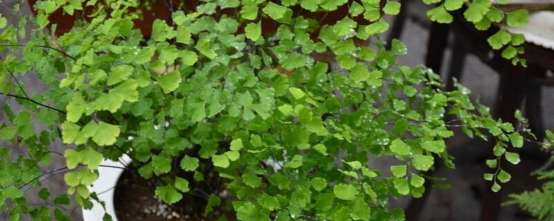蕨类植物怎么养