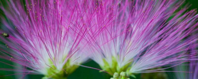 合欢花的花语及传说