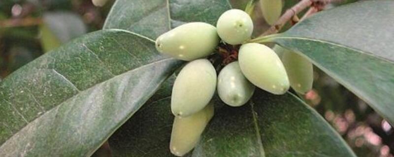 桂花树结的果实能吃吗