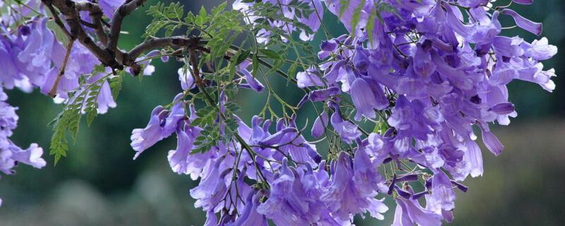 蓝花楹花语