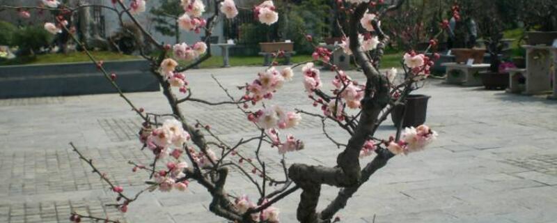 梅花盆景的制作类型