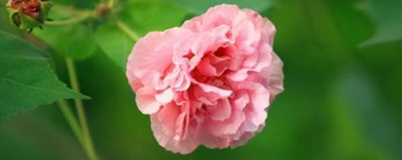 成都的市花是什么花