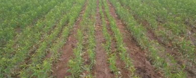 什么肥料可以做基肥