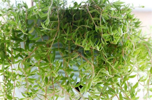 垂盆草怎么种