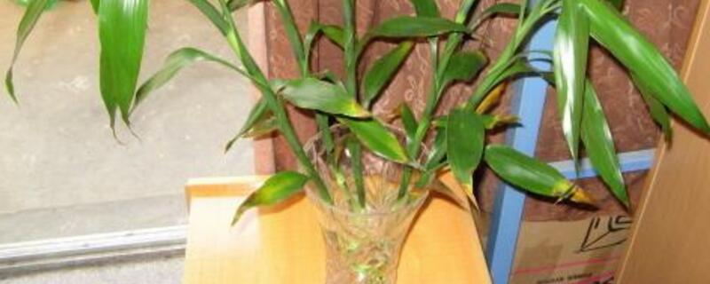 水养竹子太高从哪里剪