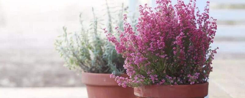冬天冻不死的大型盆栽,冬石楠可冬季养护