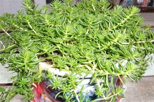 佛甲草种植方法,6个步骤教你养爆盆