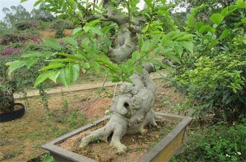 直径60的朴树值多少钱,一颗大概在8000~10000元