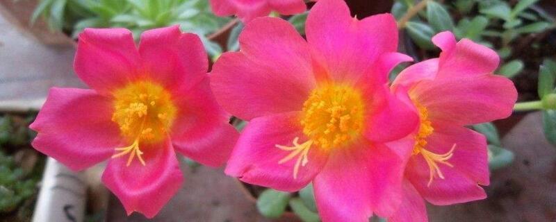 太阳花怎么种