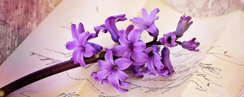 紫色风信子花语是什么