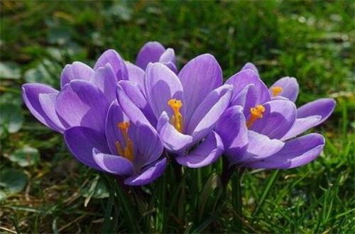 0度以下耐寒的室内植物,藏红花可耐0℃低温