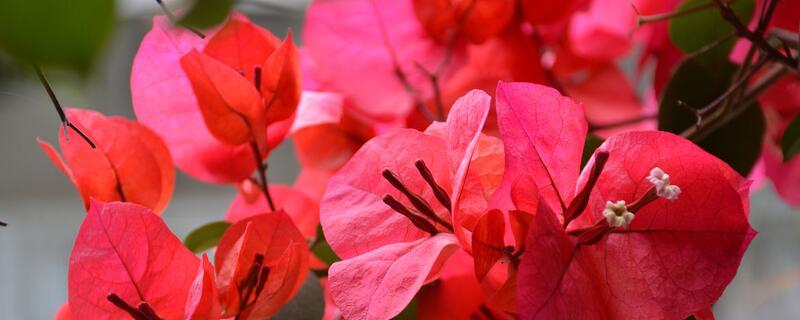 三角梅一年能开几次花
