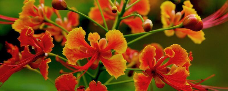 凤凰花的花语