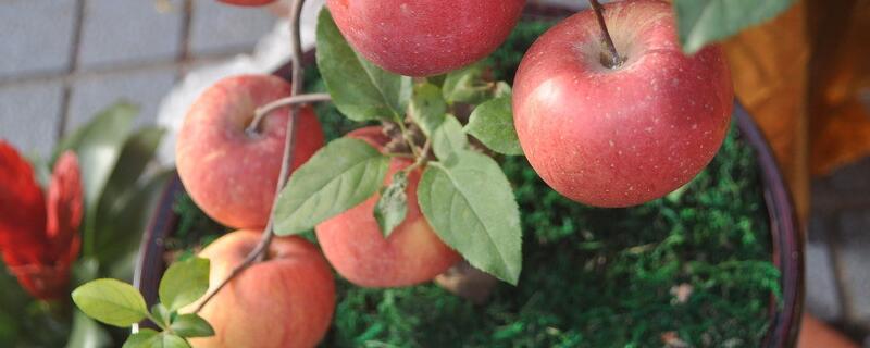 盆栽苹果树栽培技术
