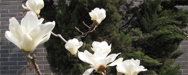 玉兰花的寓意和象征