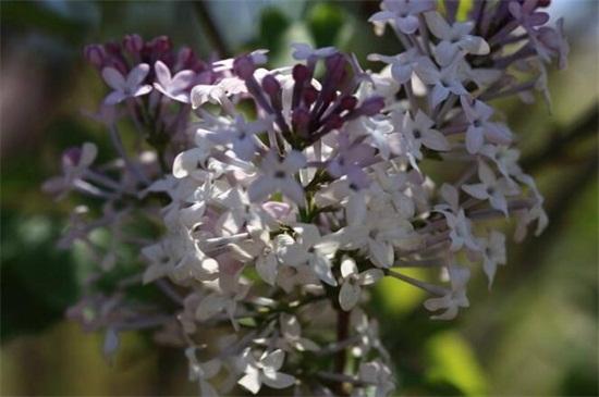 丁香花有什么品种,盘点10种最美丁香花品种