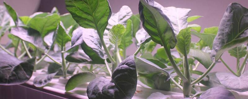 无土栽培蔬菜的坏处