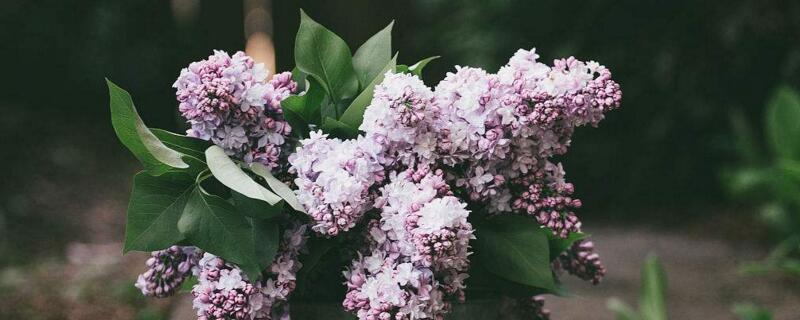 丁香花的寓意与象征