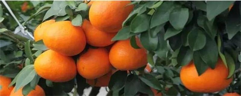 目前最好的柑橘品种,盘点十种优良品种
