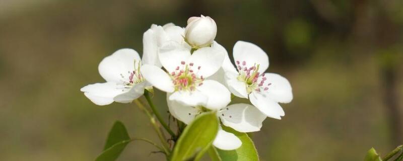 梨花几月开