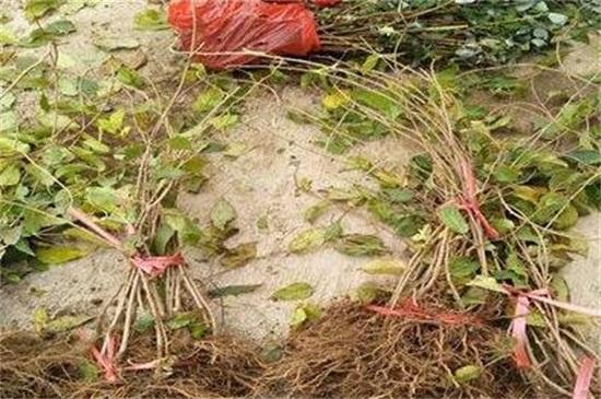 軟棗獼猴桃苗多錢一棵,價格在2~15元一棵
