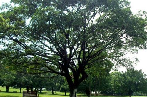 五种不能种在家里的树,养桑树榕树会带来厄运