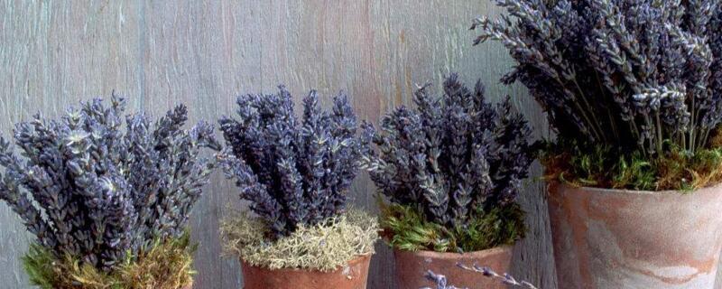 薰衣草种子种植方法