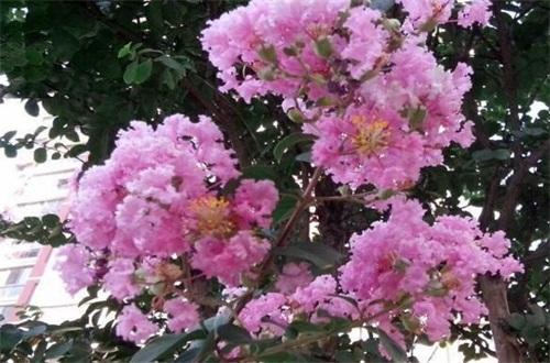 紫薇树藤栽院子里好吗,可增加风水带来好运
