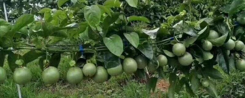 百香果的籽能种吗