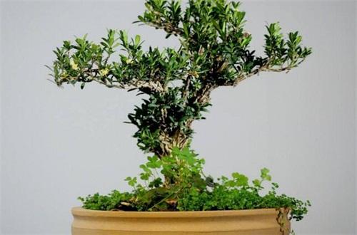 橡树种子多少钱一斤,市场价格为45~50元每斤左右
