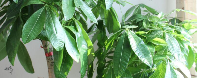 八种植物招财又旺宅