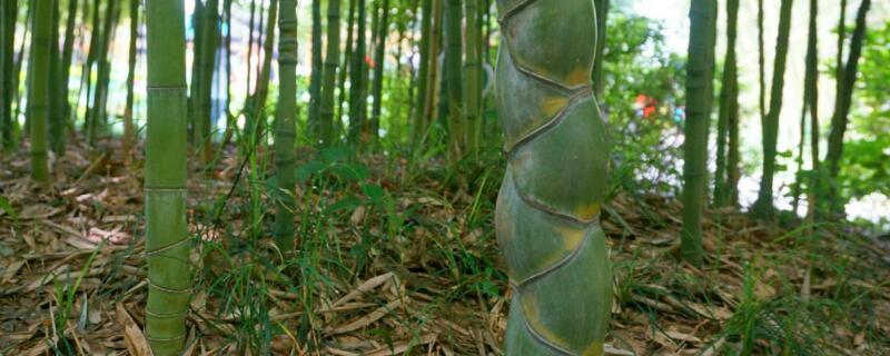 竹子叶子发黄什么原因
