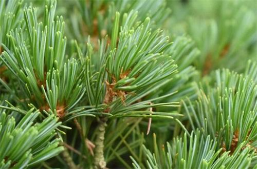 松树的叶子像什么,尖细像针被叫做松针