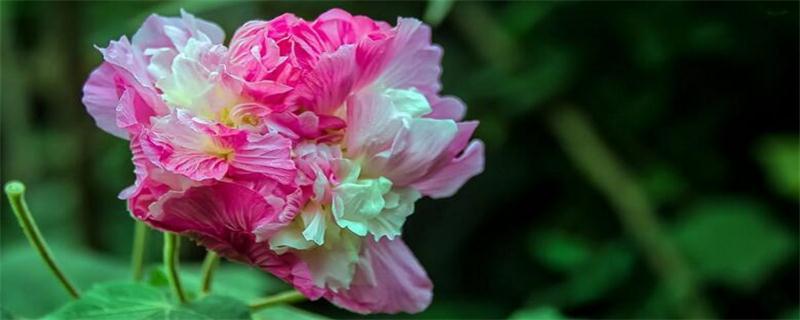 成都市花是什么花