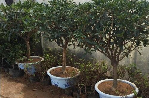 院子里种桂花树的禁忌,庭院东方和大门口种植