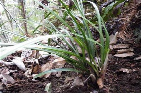 2万元以上兰草长什么山,生长在云南等地的背阴深山中