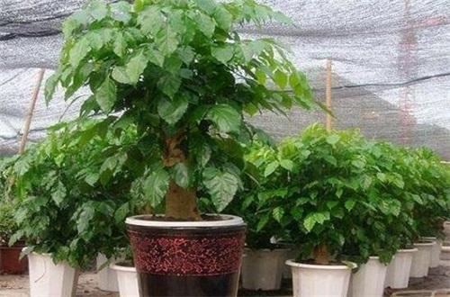绿宝树多少钱一盆,其价格为80~400元左右