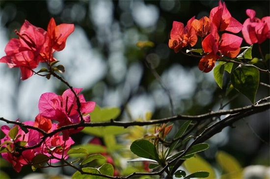 三角梅只长叶子不开花怎么办