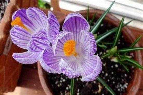 藏红花的种植方法有哪些?