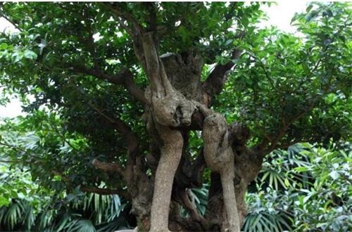 60公分大朴树价格是多少,一般一棵8000~9000元