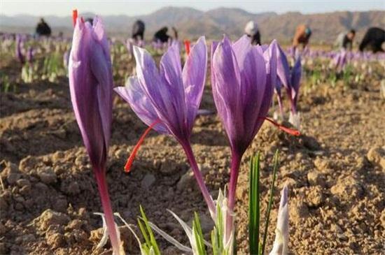种植藏红花赚钱吗,一亩可赚5000~10000元钱