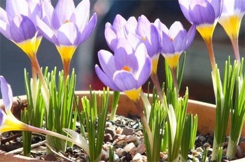 盆栽藏红花怕冻吗,不怕冻且属于耐寒植物