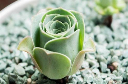 山地玫瑰可以或许或许叶插吗,成活率低极易死亡