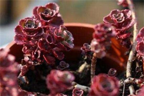 小球玫瑰叶子干枯是什么原因,浇水不当是主要原因