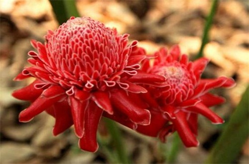 瓷玫瑰如何进行繁殖,常用分株繁殖使其旺盛