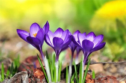 藏红花种子多少钱一斤,价格一般为每斤5~30元