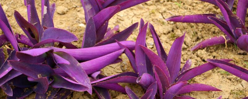 紫鸭跖草的功效与作用